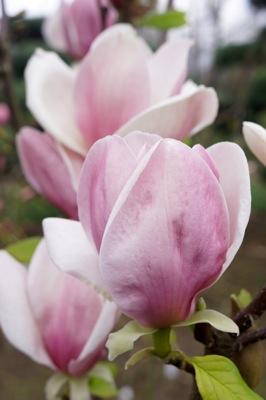 Magnolia soulangeana Cameo