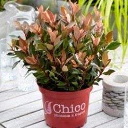 photinia_chico