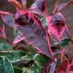 Photinia Louise