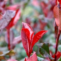 Photinia Red planet