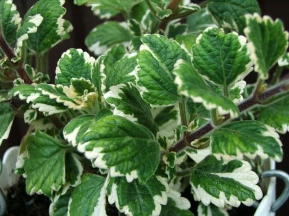 coleoides marginatus
