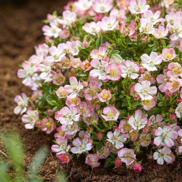 rorop007 Rosa-Cutie Pie_Garden#4 web
