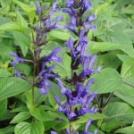 Salvia guarantica Black and Blue