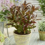 Viburnum Coppertop