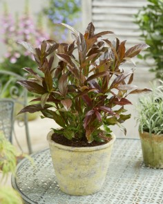 viobran01 Viburnum-Coppertop_Patio web