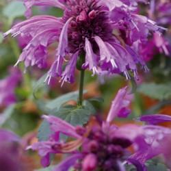 Agastache Grape Nectar ®