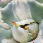 potatorum Mediopicta alba
