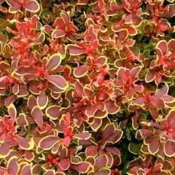 Berberis Golden Ruby - Close up