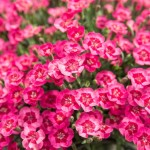 Dianthus Fairy Tail Finger Touch