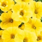 Calibrachoa Calicastic Golden Sun