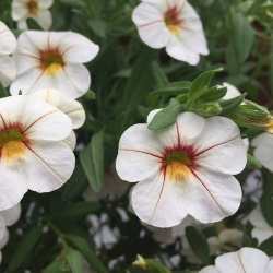 Calibrachoa Caloha Honey White