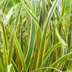 Carex-Everglow_Close up foliage WEB