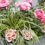 Carex Mix primavera