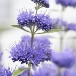 Caryopteris clandonensis Blue Empire