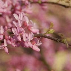 Cercis Cascading Hearts flowers