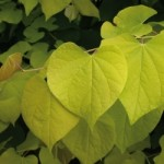 Cercis can Hearts of Gold