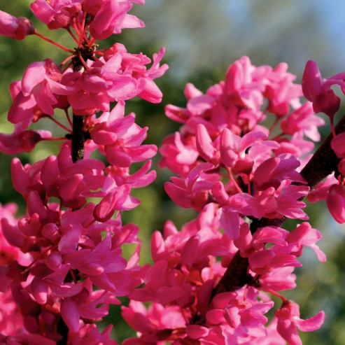 Colori di Cercis Appalachian Red