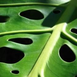 Green leaves Monstera