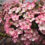 Petunia Happy Pink