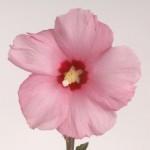 Hibiscus syriacus Aphrodite
