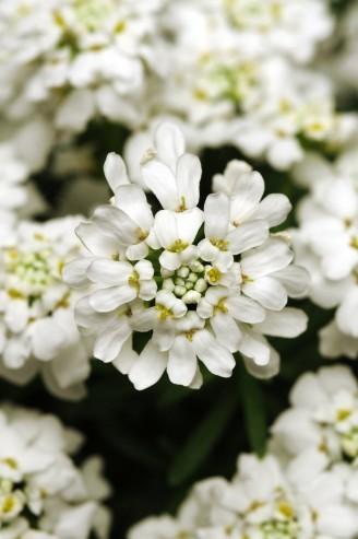 Iberis White