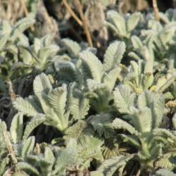 Jardin sec Tanacetum densum_2 web