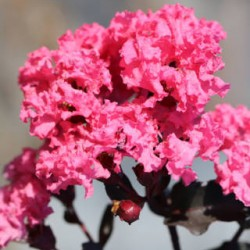 Lagerstroemia Shell Pink web
