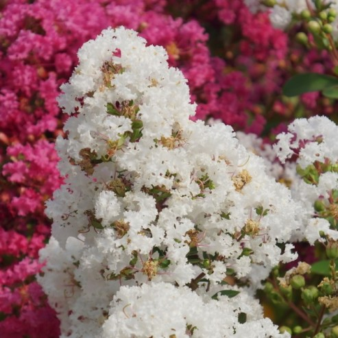 Lagerstroemia With Love Virgin