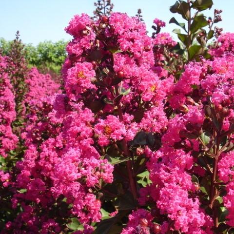 Lagerstroemia Pink Velour