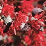 Loropetalum Ever Red