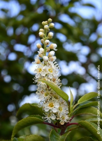 Brenelia fiore
