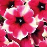 Petunia Crazytunia Amarena Cream