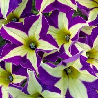 Petunia Crazytunia Frisky Violet