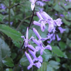Plectranthus-Mona-Lavender web