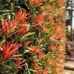 Podocarpus_Mood_Ring_Plantipp Matteo Ragni Web