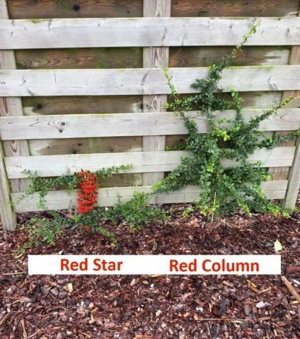 Pyracantha Red Star