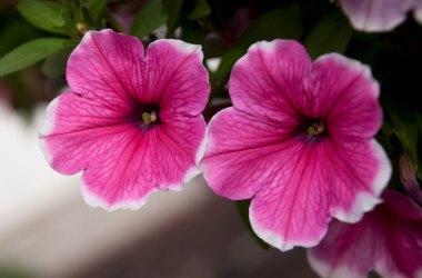 Petunia Happy Classic Pink Picotee