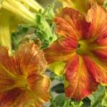 Petunia Happy Magic Dijon
