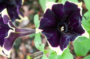 Petunia Happy Magic Giant Velvet Picotee