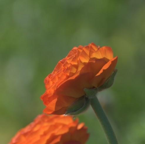 Elegance Clementine