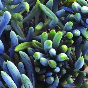 Kleinia mandraliscae