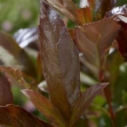 Viburnum Coppertop_3