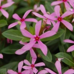 Vinca Soiree-Kawaii-Light-Purple