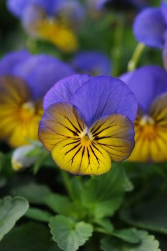 Viola Sorbet Morpho XP