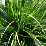 Carex EverColor Everdi