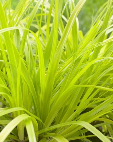 Carex EverColor Everillo