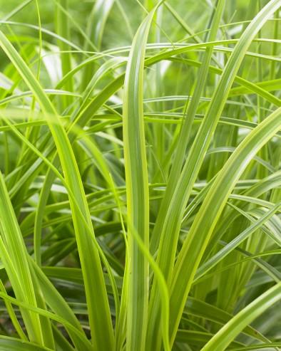 Carex EverColor Everlime