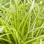 Carex EverColor Eversheen