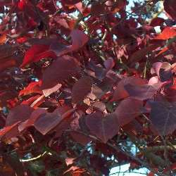 Cercis can Forest Pansy
