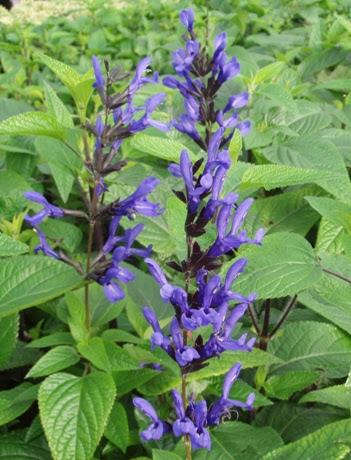 Salvia guarantica Black and Blue